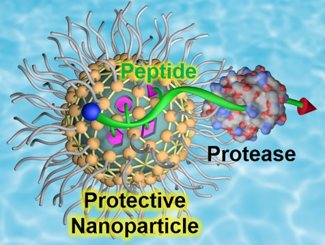 2021_Angew_Peptide protection